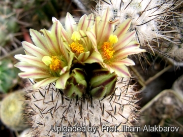 Turbinicarpus beguinii subs. hintoniorum