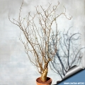 Bursera fagaroides ( in winter without leaves)