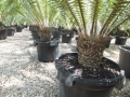 Dioon spinulosum@ www.cycadinternational.com